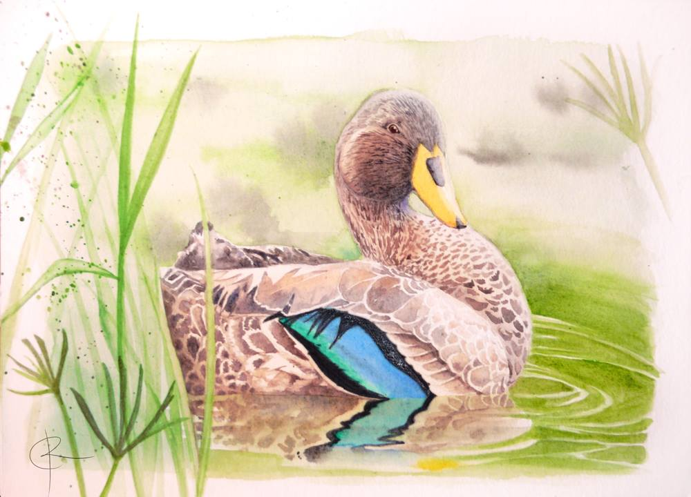 You are currently viewing Duck Watercolour